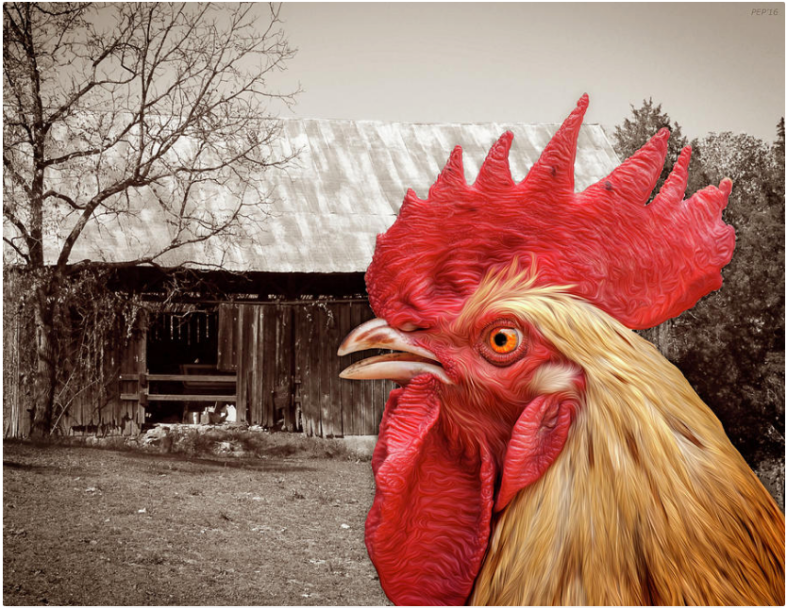 Rooster Looks At Barn
