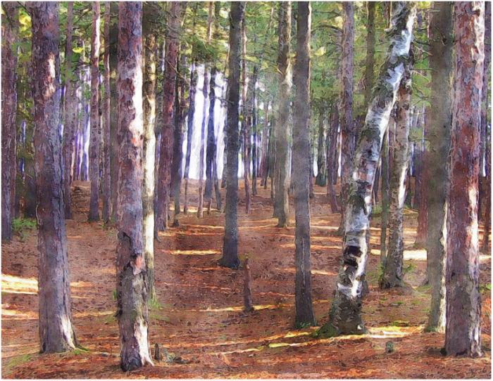 Upper Peninsula Pine Forest