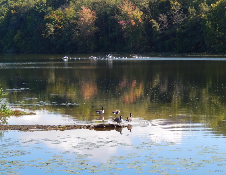 Geese At Rest And Flying