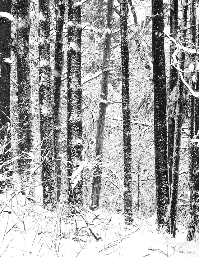 Snow In A Forest