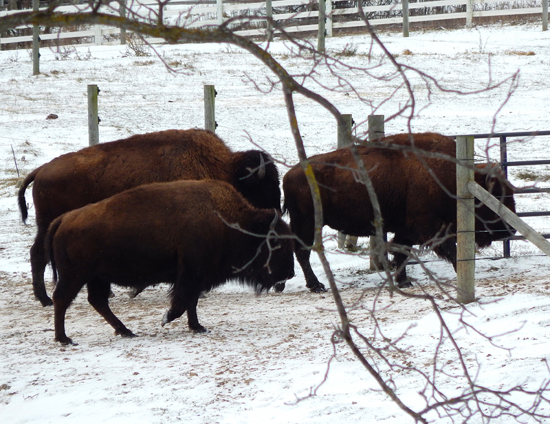 American Bison In Ann Arbor