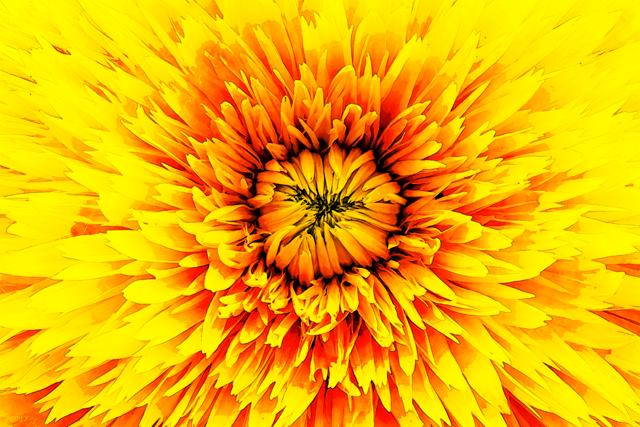 Golden Macro Flower Petals