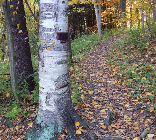 Birch Tree Trail