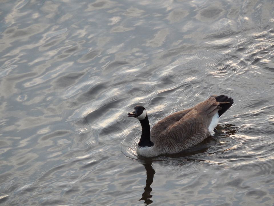 Goose Swimming In River