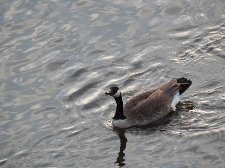 Goose Swimming In River
