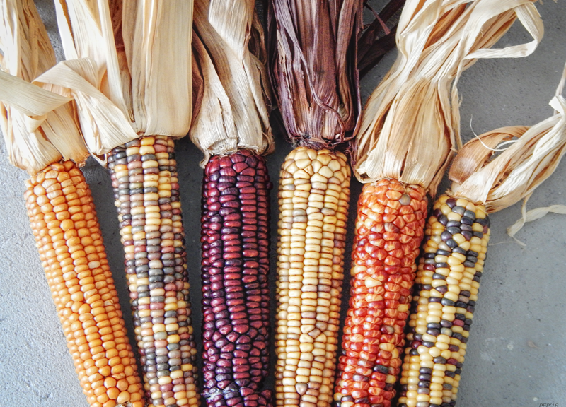 Ears of Indian Corn