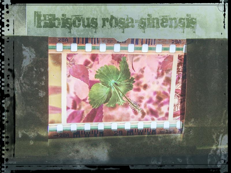 Vintage Hibiscus Filmstrip