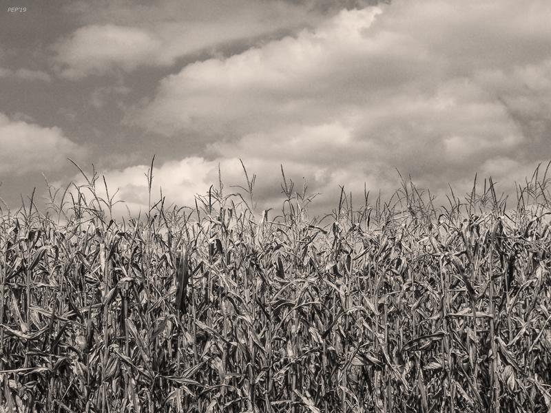 Sepia Field of Corn