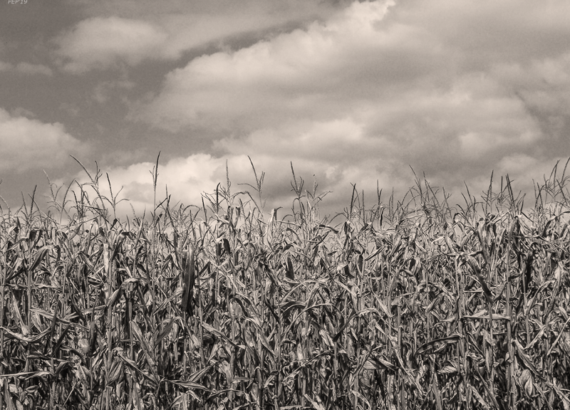 Sepia Field of Corn