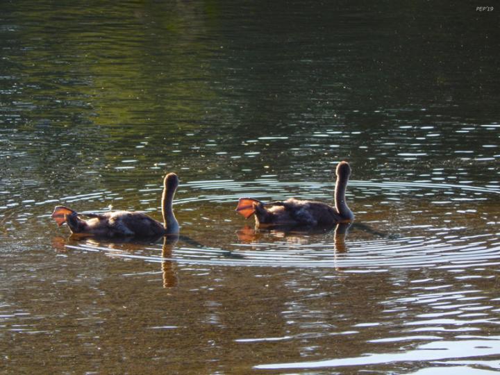 Goslings In River