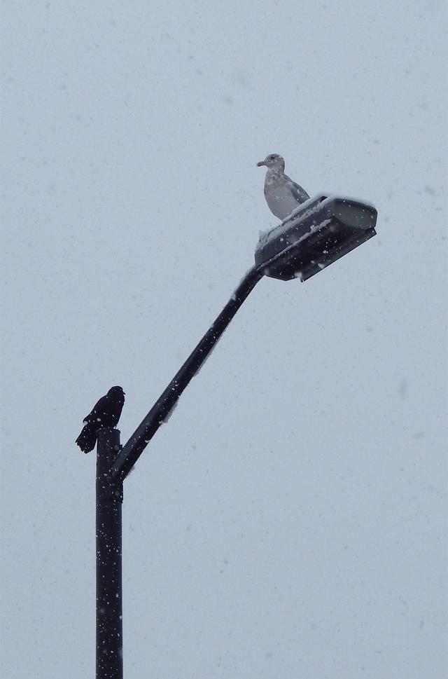 Seagull vs. Crow